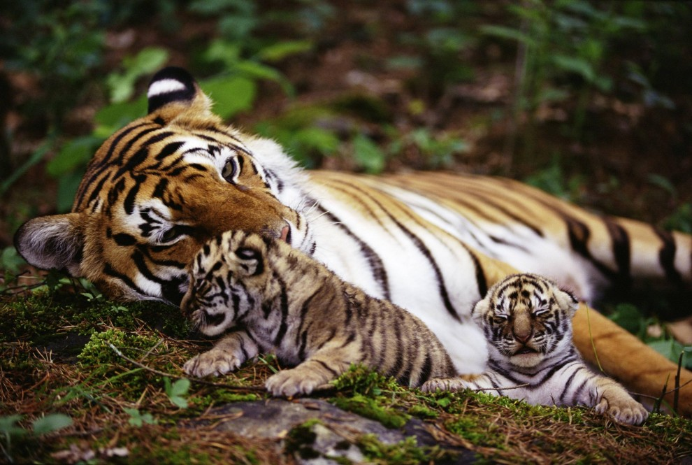 Tigerfamilie