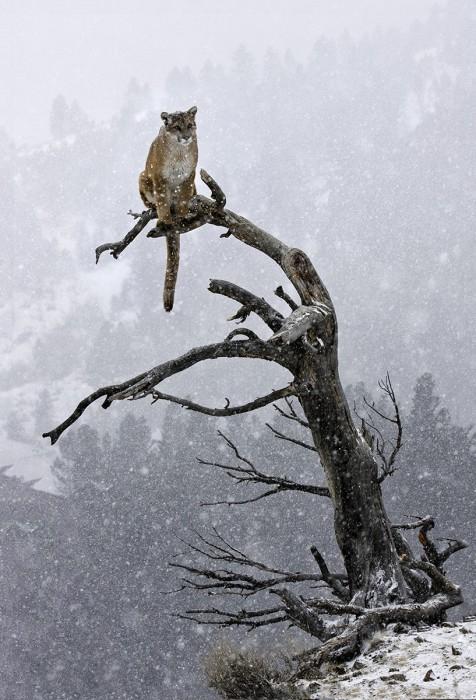 Puma im Baum