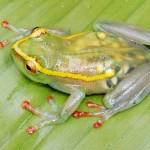 Transparenter, trächtiger Frosch