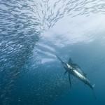 Segelfisch jagt Makrelen