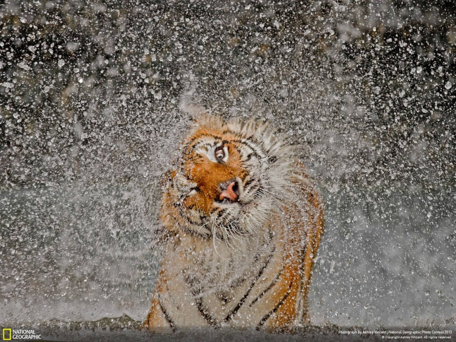 Tigertropfen