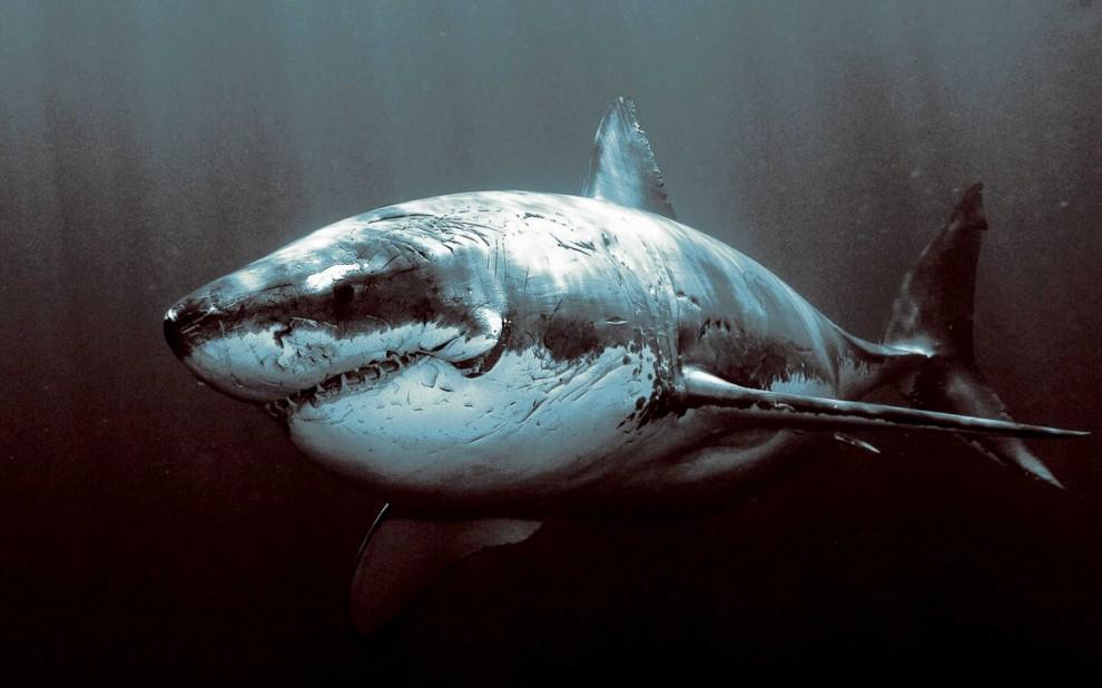 Vernarbter Hai