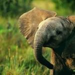 Lächelnder Elefant