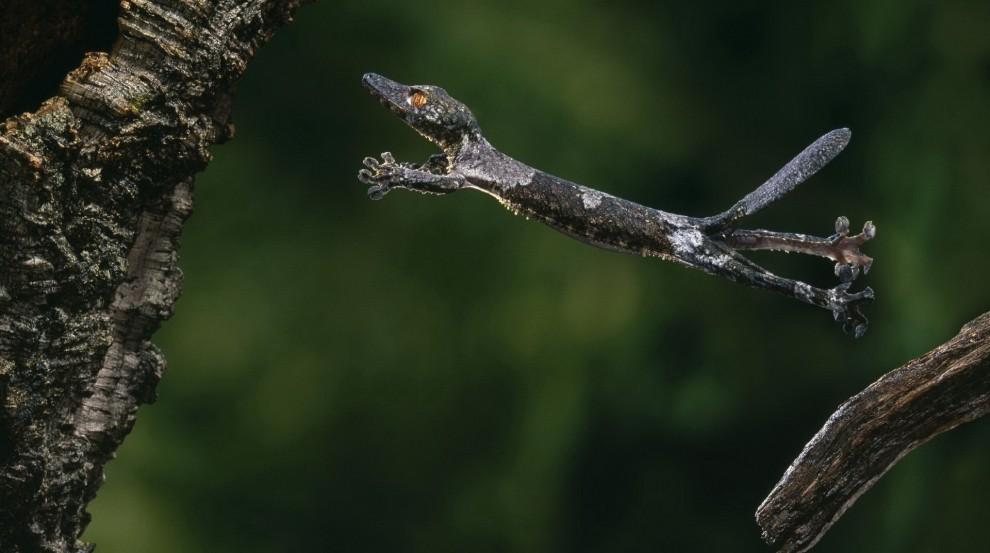 Gecko im Sprung