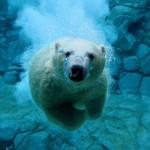 Eisbär beim Tauchen