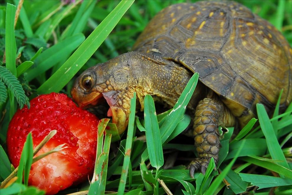 Schildkröte frisst Erdbeere