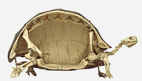 Schildkrötenskelett
