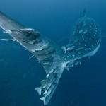 Schiffshalter auf Walhai