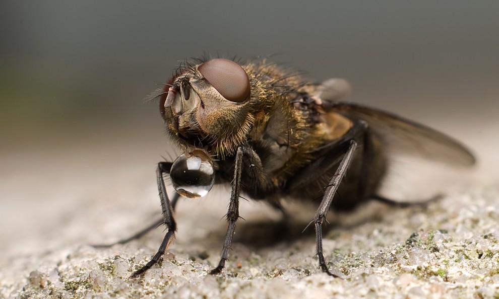 Fliege beim Trinken