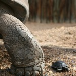 Große und kleine Schildkröte
