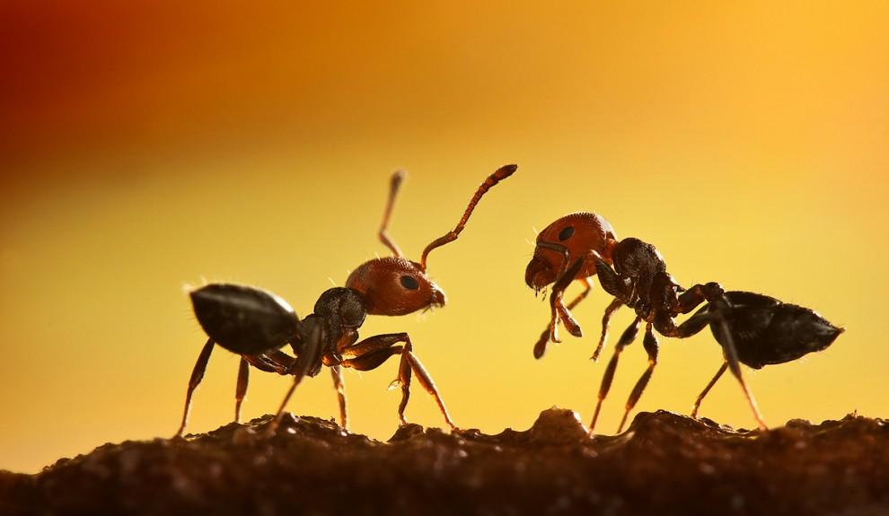 Zwei Ameisen