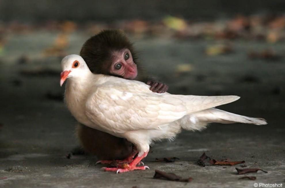 Affe und Taube
