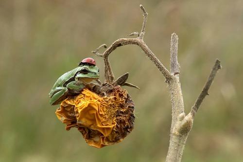 Frosch mit Helm