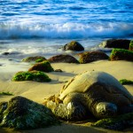 Schildkröte schläft am Strand