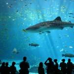 Walhai im Aquarium