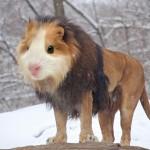 Kombitiere/ Guinea Lion