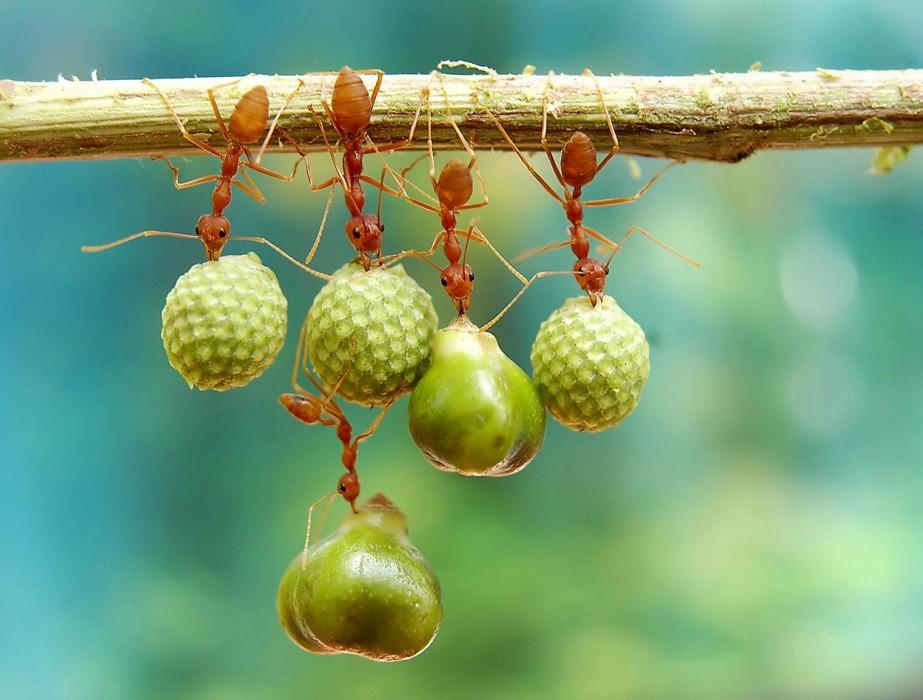 Ameisen mit Samen