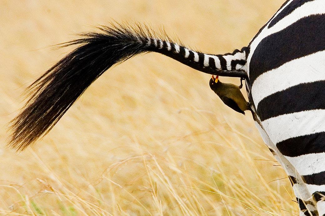 Madenhacker und Zebra