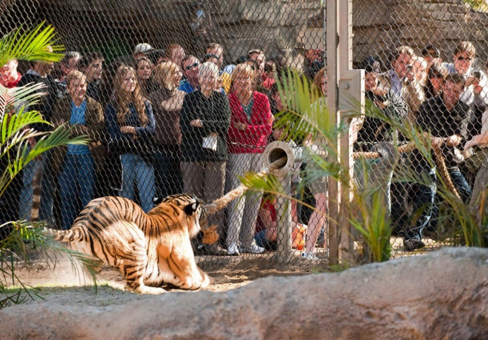 Tauziehen mit Tiger