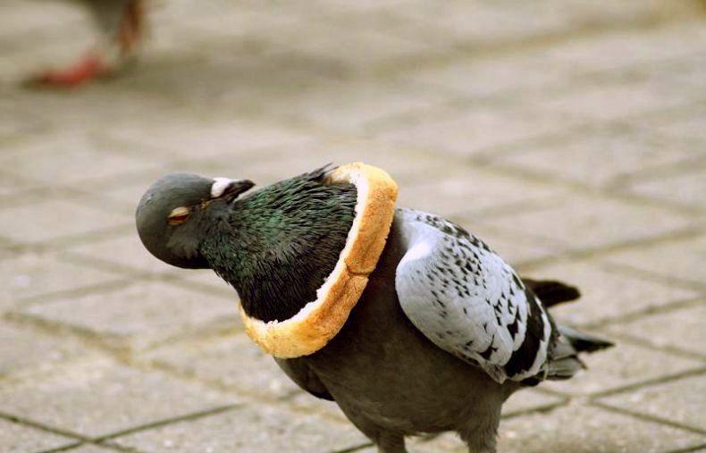 Taube von Brot gefesselt