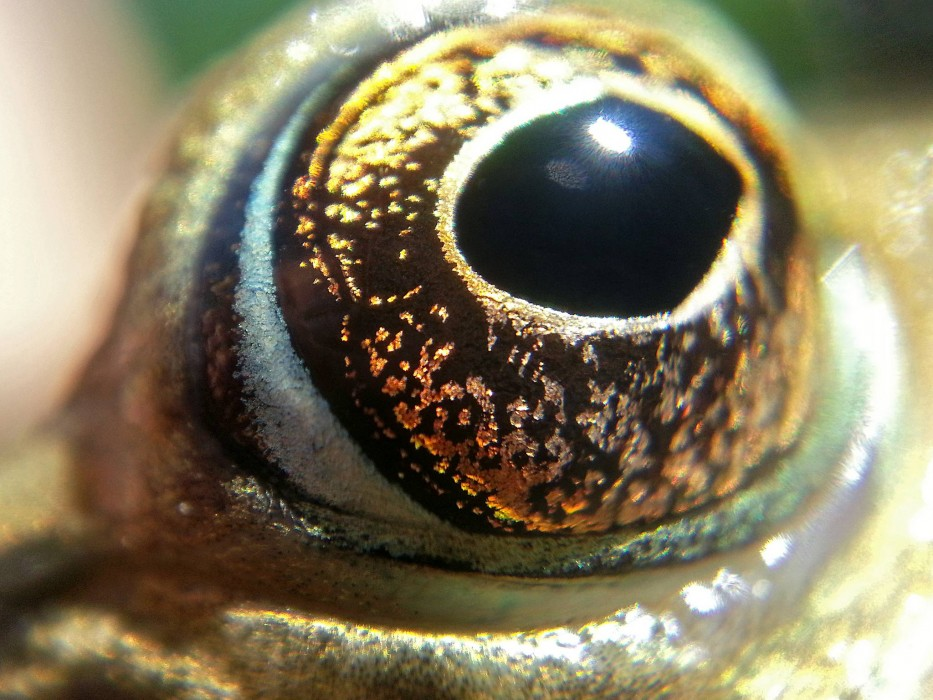 Froschauge
