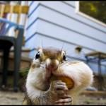 Streifenhörnchen mit Erdnuss