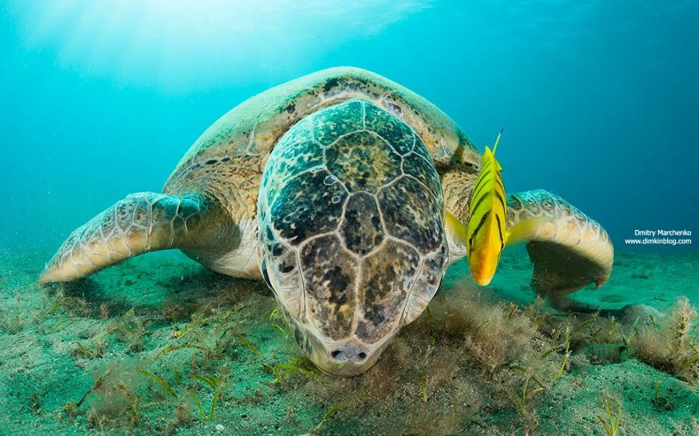 Meeresschildkröte mit Freund