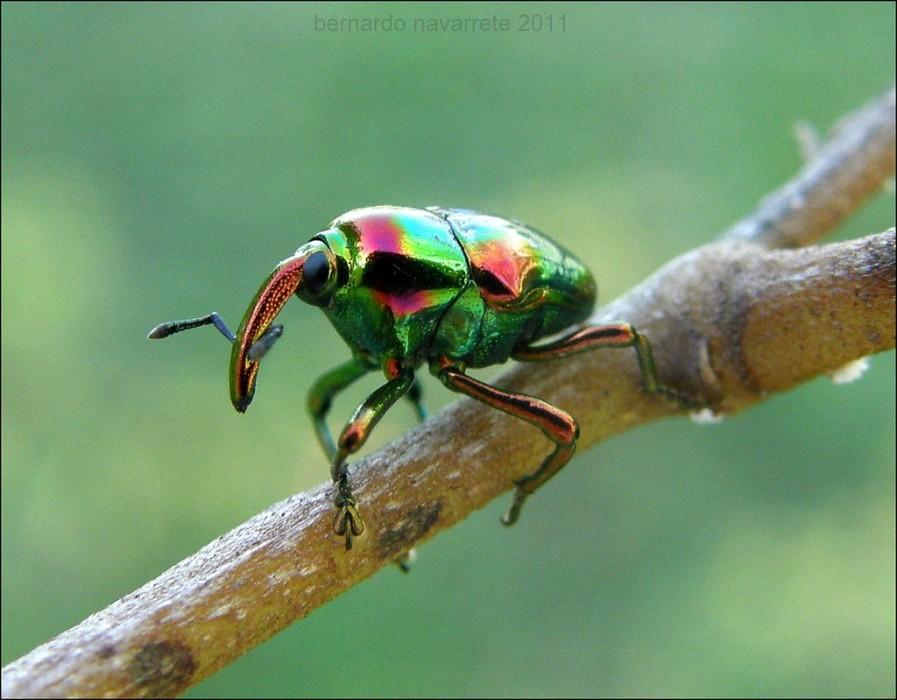 Bunter Rüsselkäfer