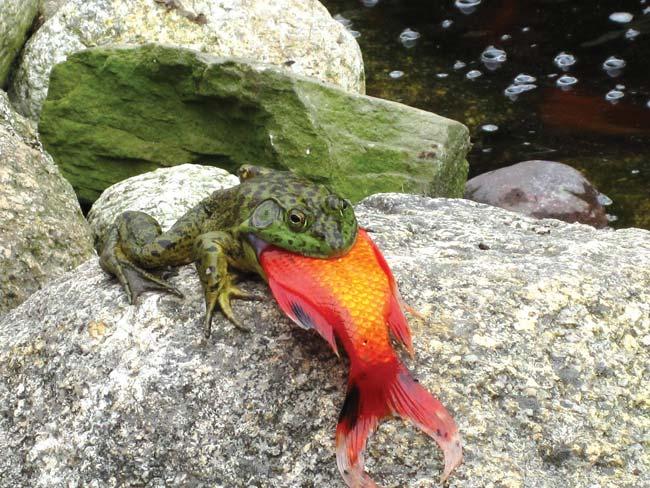 Gieriger Frosch