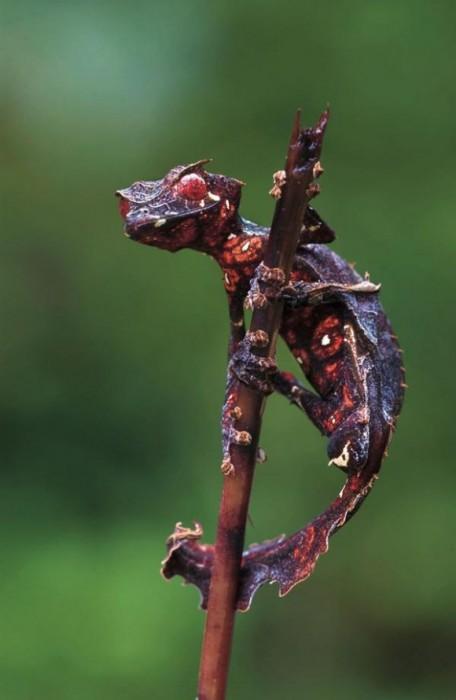 Satanischer Blattschwanzgecko