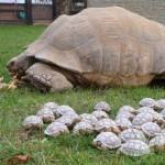 Spornschildkröte und Junge