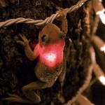 Leuchtfrosch