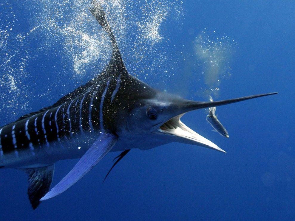 Gestreifter Marlin