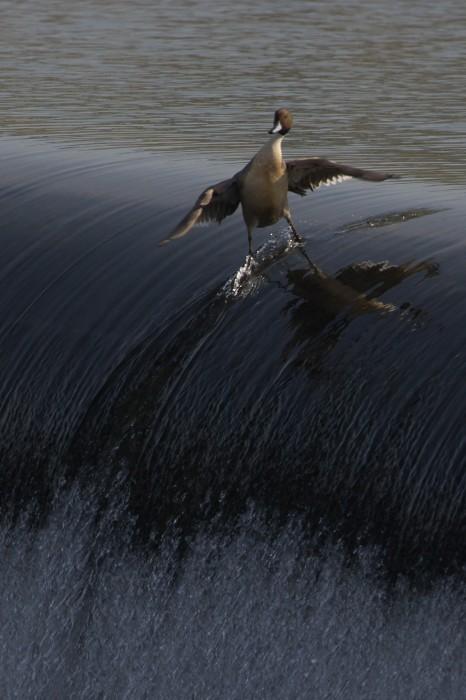 Surfende Ente