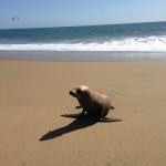 Seehund am Strand