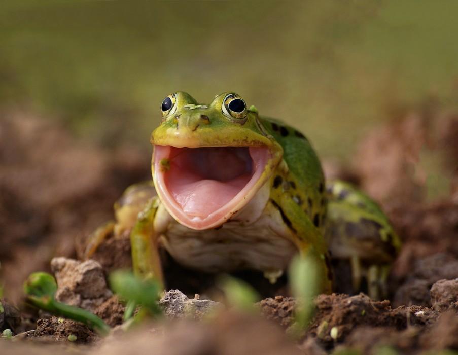 Begeisteter Frosch