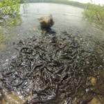 Gans bei der Fischjagd