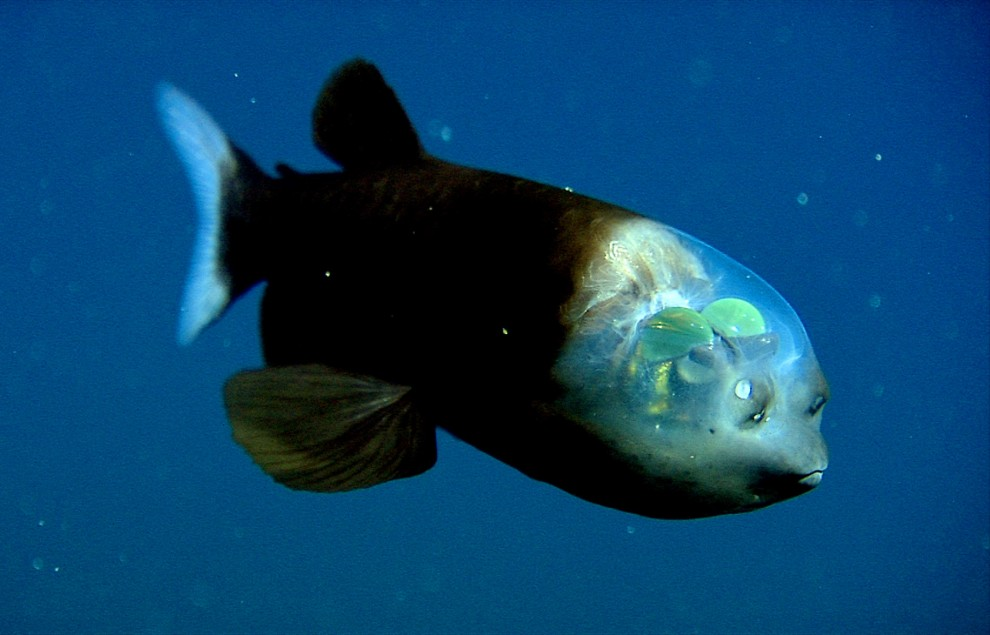 Gespensterfisch