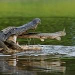 Alligator verspeist Fisch