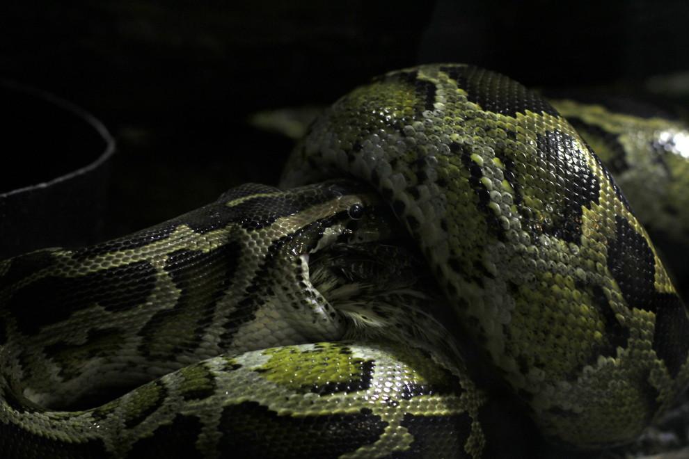 Burmesische Python