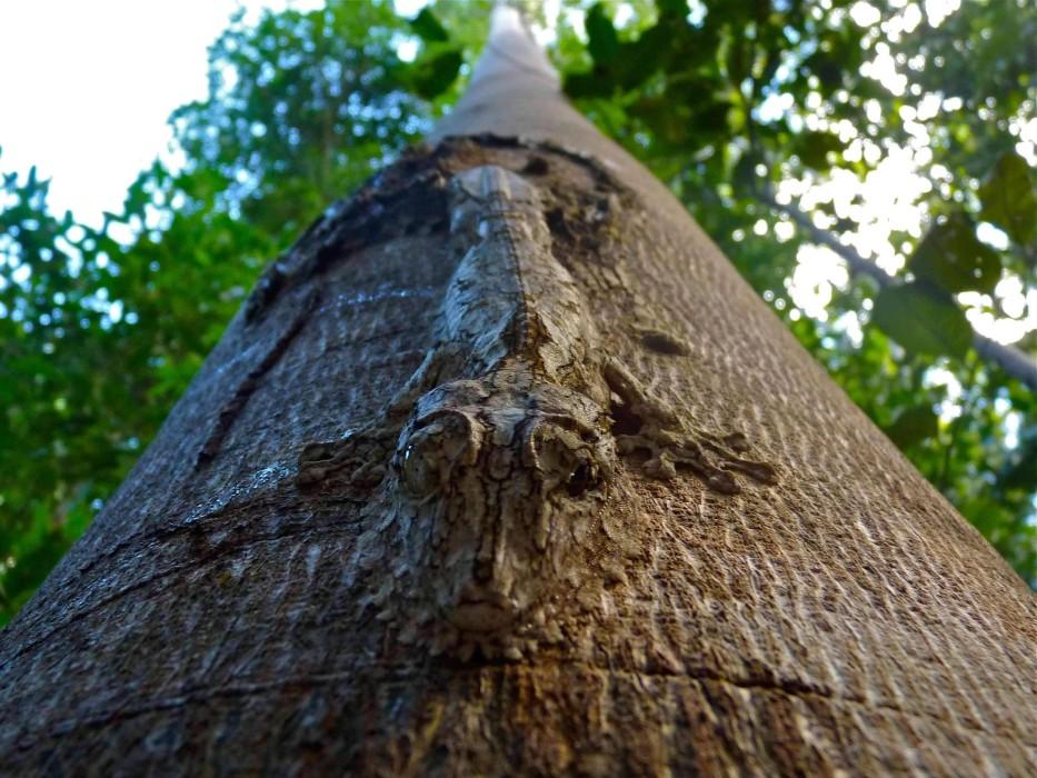 Gut getarnter Blattschwanzgecko