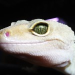Hübsche Geckoaugen