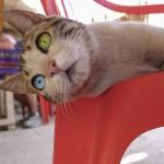 Buntäugige Katze