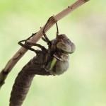 birth_dragonfly_03