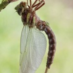 birth_dragonfly_09