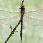 birth_dragonfly_10