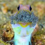 Kieferfisch