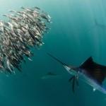 Segelfisch und Beute