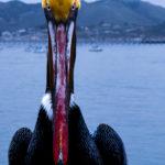 pelican_eyes