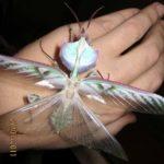 devils_flower_mantis